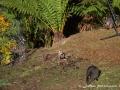 Wallabys im Vorgarten