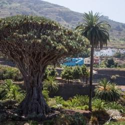 Der elteste Baum der Insel. Ein Dragobaum in